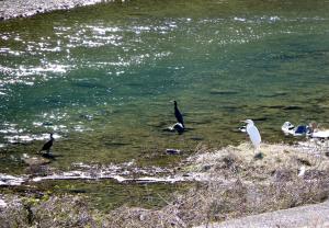 川中の川鵜と白鷺
