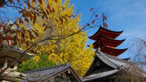 宮島・厳島神社の大銀杏