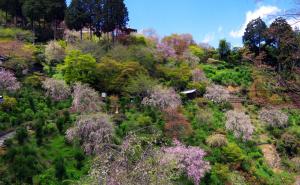 善峯寺の桜の谷