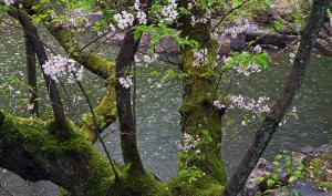 京都・平安神宮・春の池端・老桜木