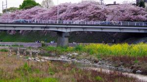 京都・鴨川の春