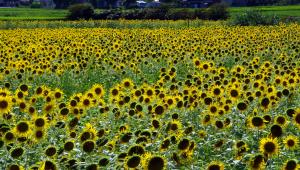 倉吉市郊外のひまわり畑
